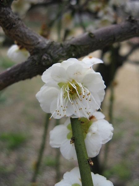 File:Prunus mume 'Pendula'3.jpg