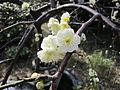 Prunus mume (ominato).JPG