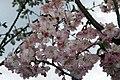 Prunus subhirtella Autumnalis 16zz.jpg