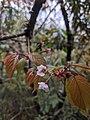 Prunus transarisanensis 65927271.jpg