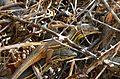 Psammadromus algirus. mating - Flickr - gailhampshire.jpg
