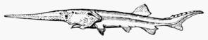 Schwertstör (Psephurus gladius)
