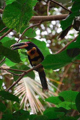 Pale-mandibled aracari - Image: Pteroglossus erythropygius Dallas World Aquarium, USA 8a