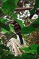 Pteroglossus erythropygius -Dallas World Aquarium, USA-8a.jpg