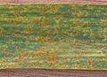 Puccinia recondita f.sp. tritici on Triticum aestivum, Bruine roest op gewone tarwe.jpg