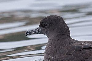 Puffinus griseus English: A Sooty Shearwater n...