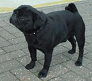 A black Pug