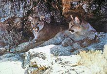 Una coppia di puma