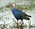 Purple Swamphen I IMG 9278.jpg