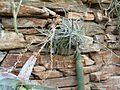 Puya laxa HabitusInflorescence BotGardBln0906h.JPG