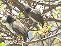 Pycnonotus tricolor, Lake Manyara 2.jpg