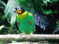 Pyrilia barrabandi -Napo Wildlife Reserve-4.jpg