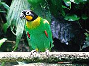 A green parrot red-tipped wings, a yellow collar and cheek, a black head, and white eye-spots