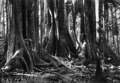 Queensland State Archives 2106 Crows foot elms Palm Grove Tamborine Mountain c 1934.png