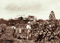Queensland State Archives 2206 Vineyard and grapepickers with house in background at Nudgee 1897.png