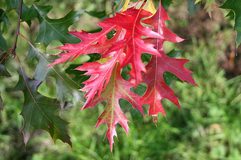feuilles chêne