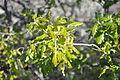 Quercus faginea pedamarro.JPG