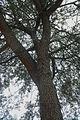 Quercus geminata (24102037551).jpg