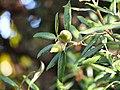 Quercus ilex Dąb ostrolistny 2017-10-15 02.jpg