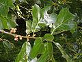 Quercus marilandica - Botanischer Garten, Frankfurt am Main - DSC02549.JPG