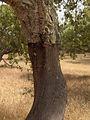 Quercus suber.Alentejo02.jpg