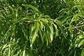 Quercus variabilis kz01.jpg
