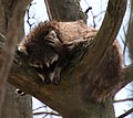 Raccoon at the Point Pelee National Park, Leamington, ON.jpg