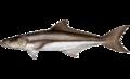 Rachycentron canadum.png