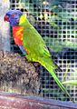 Rainbow-Lorikeet in Brevard Zoo.jpg