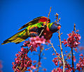Rainbow Lorikeet at Blossoms.jpg