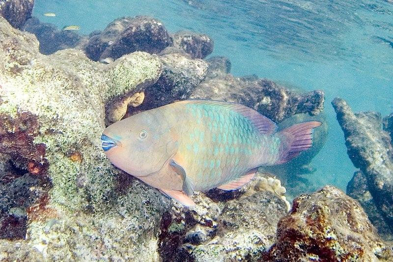 Rainbow parrotfish Scarus guacamaia.jpg