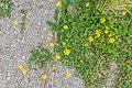 Ranunculus flammula in West Coast Region 01.jpg