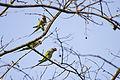 Red-breasted parakeet (20268163199).jpg