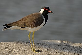 Red-wattled Lapwing from Jamnagar JEG9304.jpg