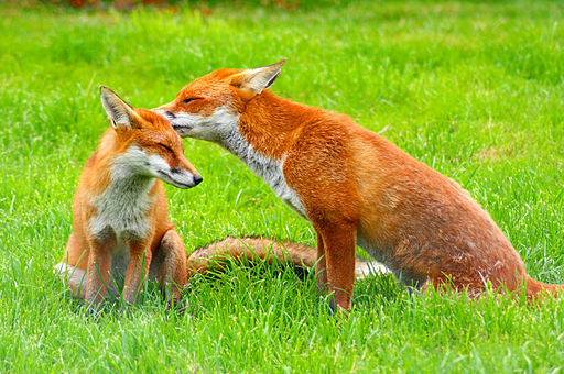 Red Fox (Vulpes vulpes) -British Wildlife Centre-8
