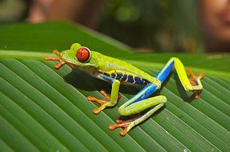 Agalychnis callidryas - Image: Red eyed tree frog