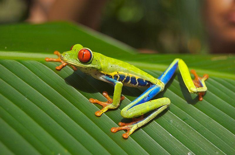 File:Red eyed tree frog.jpg