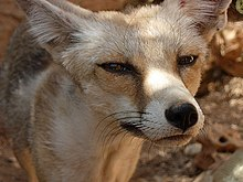 الثعلب الاحمر 220px-Red_fox-Lebano