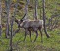 Reindeer in Ljungdalen 2012a.jpg