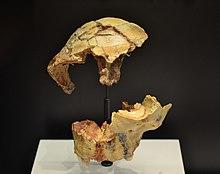 Reproducciones del cráneo (frontal ATD6-15 ) y mandíbula (parte del esqueleto facial ATD6-69) del Niño de la Gran Dolina (Homínido 3). Museo Arqueológico Nacional de España.jpg