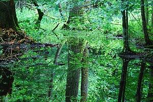 Białowieża National Park - Image: Rezerwat ochrony scisłej BPN 11
