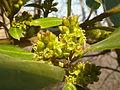 Rhamnus alaternus, manlike bloeiwyses, Meiringskloof, b.jpg