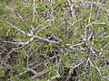 Rhamnus lycioides.jpg