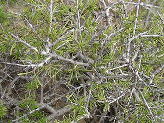 Rhamnus lycioides - Detail of branches