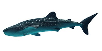 Rhincodon typus (recropped)