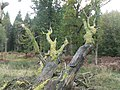 Rhinefield, horizontal rotting tree - geograph.org.uk - 1019617.jpg