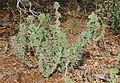 Rhino Thorn (Euphorbia grandicornis) (32262133961).jpg