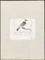 Rhinocrypta lanceolata - 1838 - Print - Iconographia Zoologica - Special Collections University of Amsterdam - UBA01 IZ19200433.tif