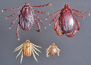 Ticks of domestic animals - Rhipicephalus appendiculatus female and male dorsal at top, Rhipicephalus (Boophilus) microplus female and male dorsal at bottom (single photograph at one scale).