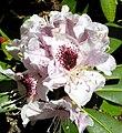 Rhododendron 'Sappho'.jpg